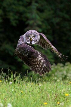 Great Grey Owl or Great Gray Owl (Strix nebulosa)
