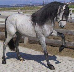 Le pure race espagnole ou andalou - Les chevaux