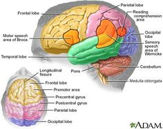 Brain Anatomy showing the location of major areas of the brain