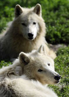 Jul 3, 2012 Red, white and blue: Celebrating 4th of July on the wild sideWhite: Arctic white wolves are pictured in the zoo in Amneville, eastern France. (Jean-Christophe Verhaegen/AFP/Getty Images)