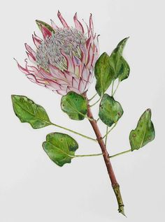 protea ( my most favorite) Botanical Drawings, Botanical Illustration, Botanical Prints, Illustration Art, Watercolor Flowers Tutorial, Watercolour Flowers, Protea Art, Illustration Botanique, Poster Prints