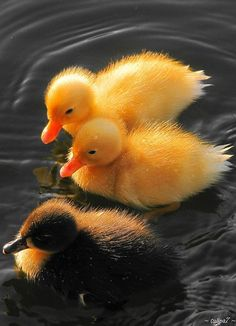 ⓕurry & ⓕeathery ⓕriends - photos of birds, pets & wild animals - Ducklings Cute Baby Animals, Farm Animals, Animals And Pets, Animals Planet, Beautiful Birds, Animals Beautiful, Beautiful Babies, Canard Mandarin, Baby Ducks