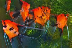 Select Koi Angelfish from Angels Plus- Extremely high quality koi angels with the most gorgeous coloring Beautiful Tropical Fish, Beautiful Fish, Oscar Fish, Cool Fish, Tropical Aquarium, Freshwater Aquarium Fish, Paludarium, Angel Fish, Exotic Fish