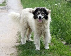 Bulgarian shepherd - Karakachan dog. A native shepherd dog from Sredna gora region - Wikipedia