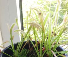 Drosera capensis - Growing/Care