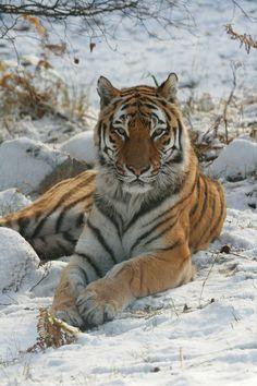 'Amur Tiger - Yuri' ~ Photo by Rob_Brooks Beautiful Cats, Animals Beautiful, Big Cats, Cats And Kittens, Animals And Pets, Cute Animals, Wild Animals, Baby Animals, Tiger Species
