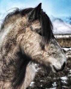 "198 gilla-markeringar, 1 kommentarer - Gunni Eysteins & Lydía Gunnars (@kaplahestar) på Instagram: ""Salka is enjoying her break before she comes back in. We plan on getting her judged next spring ❄️…"""