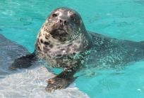 Harbor Seal Pup Growing at a Healthy Rate- Aquarium