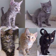Petvalu Foster Kittens Kitten Adoption Pets Foster Kittens