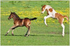 Woo Hoo! Foals playing.