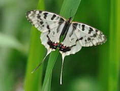 Sericinus montela (Dragon Swordtail) - Russia, Korea, China and Japan