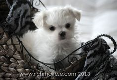 Richelieu Maltese AKC Show Dogs and Puppies San Francisco, California