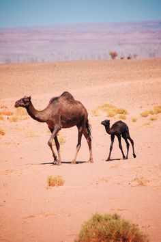 Newborn baby camel - free camels in the Sahara desert - nomad camels Morroco Camel Tow, Baby Camel, Beautiful Horses, Animals Beautiful, Animals And Pets, Baby Animals, Desert Sahara, Bactrian Camel, Camelus