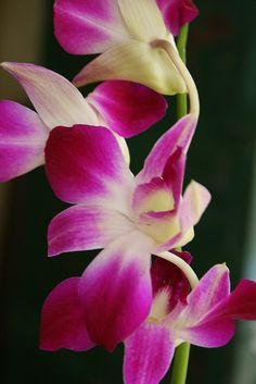 Dendrobium Orchids - these are the colors of the lei we'll have (I hope).