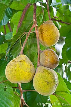 Photo about Santol fruit on tree in garden. Image of color, sweet, tropical - 20140194 Home Grown Vegetables, Fresh Fruits And Vegetables, Fruit And Veg, Exotic Food, Exotic Fruit, Tropical Fruits, Unusual Plants, Exotic Plants, Fruit Plants