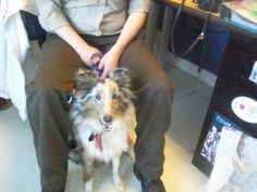 #MICHIGAN #URGENT ~ Daisy is a Merle Shetland Sheepdog Sheltie avail 11-25-13 if her owner doesn't claim her & in need of a loving #adopter / #rescue at GRATIOT COUNTY ANIMAL CONTROL  has had a contract with R & R a Class B animal dealer selling to RESEARCH - http://pcrm.org/good-medicine/2012/winter2012/queenies-story    2675 W Washington Rd   #Ithaca MICHIGAN 48847   Ph 989-875-2221