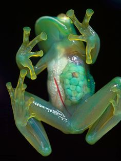 Glass Frog - :O awesome!