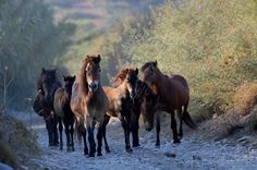 The Horses in Skyros Island