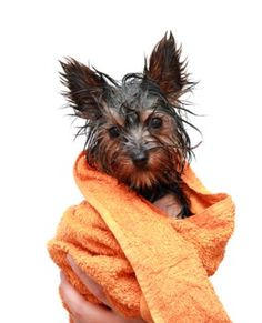 How to properly bathe a Yorkie with itchy skin