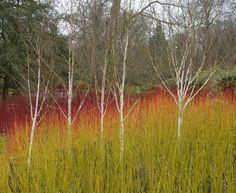 John Grimshaw's Garden birch and Cornus