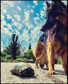 Alsos Siggrou#dog#turtle Turtle, German, Dogs, Animals, Deutsch, Animales, Turtles, German Language, Animaux