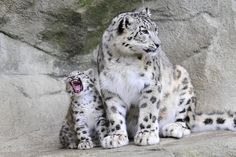 Young snow leopard with mother by Guido Wacker on 500px