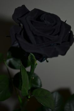 A black Rose, my favorite flower