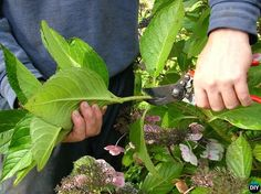If you need help looking after your hyrangeas, or are planting hydrangeas for the first time in your garden this article will help you. Covers soil conditions, planting tips, pests & diseases, propagation and flowering season Rooting Hydrangea Cuttings, Hydrangea Shrub, Hydrangea Care, Hydrangea Not Blooming, Pruning Hydrangeas, Smooth Hydrangea, Container Gardening, Gardening Tips, Plantar