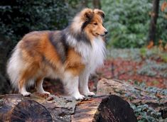 Gorgeous Sable Sheltie