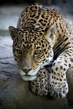 Jaguar by Johnny Flash