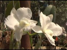 Orquídeas Mudas e Semeadura - Revista do Campo - 15-08-2012