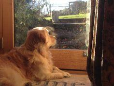 Our Golden Retriever Harvey keeping watch