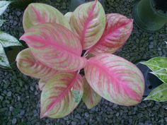 Colorful Plants, Exotic Plants, Indoor Plants Names, Trees To Plant, Plant Leaves, Chinese Evergreen Plant, Room With Plants, Plant Rooms, Low Light Plants