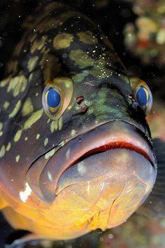 Anemone Wall-Grouper; by Tony J Gilbert