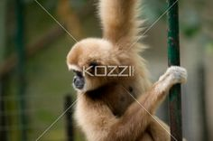 black handed spider monkey - Black Handed Spider Monkey hanging in a pole at a zoo.
