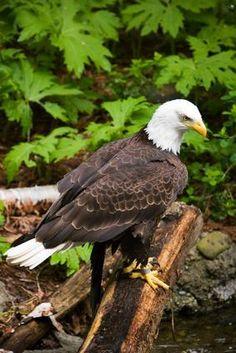 bald eagles, gotta love em