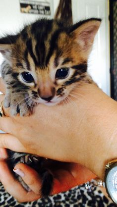Our three week old bengal kitten. 7 more weeks till he comes home :/