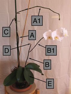 Come potare un'orchidea Phalaenopsis nel modo corretto: informazioni e consigli pratici su come eliminare steli, foglie, fiori e radici.
