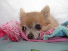 Carmen - 2.2.2014 Chihuahuas, Dogs, Chihuahua Dogs, Pet Dogs, Chihuahua, Doggies