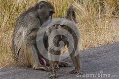 Male Baboon Grooming Female Stock Photo - Image of wildlife, wild: 31322560 Baboon, Wildlife, Southern, Africa, Stock Photos, Female, Animals, Animales, Animaux