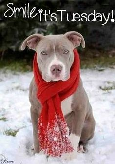Uplifting So You Want A American Pit Bull Terrier Ideas. Fabulous So You Want A American Pit Bull Terrier Ideas. Beautiful Dogs, Animals Beautiful, Cute Animals, I Love Dogs, Cute Dogs, Pitbull Blue, Pit Bull Love, Pitbull Terrier, Dogs Pitbull