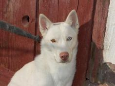 Roxie is an adoptable Siberian Husky Dog in Lansdale, NJ. Roxie is a 13-month all white Siberian Husky puppy that is guaranteed to capture your heart! This bi-eyed beauty (one brown eye and one blue e...