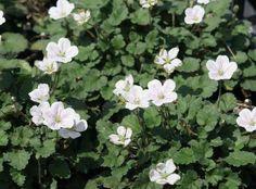Erodium reichardii 'Album' - reigersbek - Vaste planten | Maréchal 5 cm lijkt op geranium