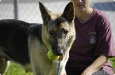Poetry in motion: Athletic, young German shepherd urgently needs a home