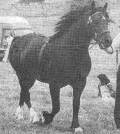 North Forks Black Earl Welsh Cob; DERWEN TELYNOR, b. C, 1972 by NEBO BLACK MAGIC ex DERWEN SEREN TELEDU