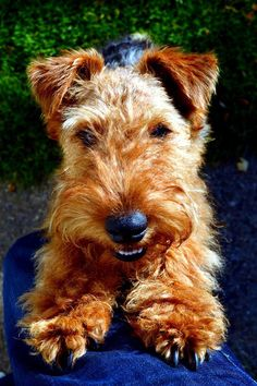 Happy welsh terrier