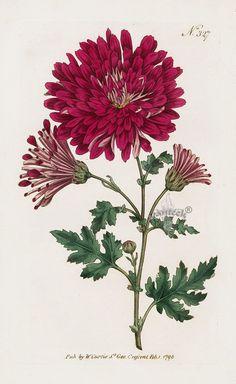 Indian Chrysanthemum ( Chrysanthemum boreale or Dendranthema boreale) . William Curtis Botanical Magazine Antique Prints 1787-1817