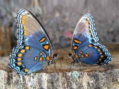 Types of Butterflies - Butterflies are one of the most adored insects for their enchanted beauty and representation of good luck and positive change. Butterfly Kisses, Butterfly Flowers, Blue Butterfly, Butterfly Sayings, Butterfly Meaning, Flying Flowers, Types Of Butterflies, Beautiful Butterflies, Bug Images