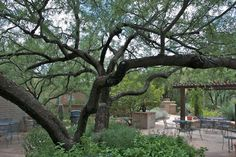 Tip 2: Save money on your utility bill by planting deciduous trees, such as the native mesquite tree (Prosopis velutina) shown above, on the west and south sides of your home. They will reduce your summer cooling bills and provide shady outdoor living spaces.