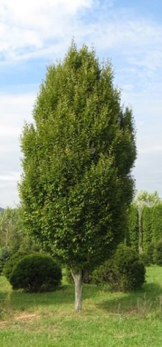 Carpinus betula betulus Fastigiata:  This fine tree is columnar in its youth becoming rounded as it matures. It has a dense habit and is very formal in its appearance. The foliage turns yellow in the fall.